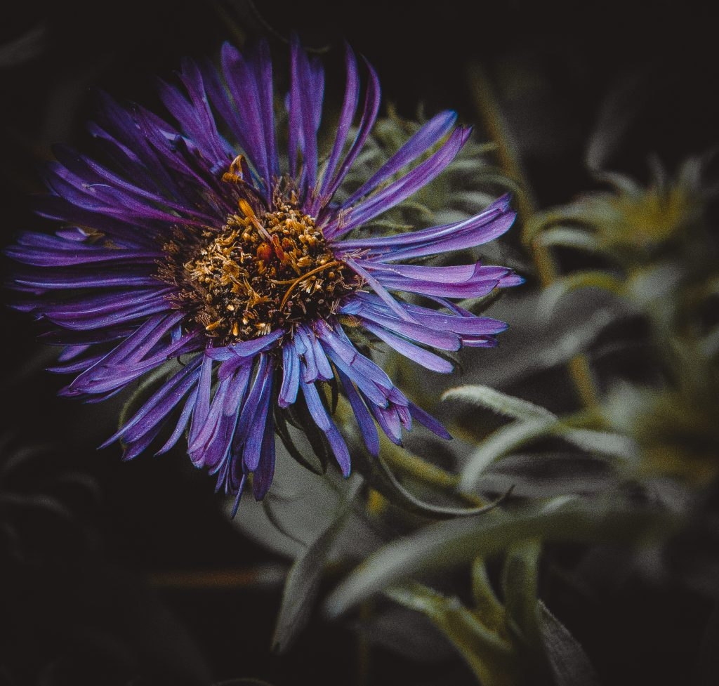 Astras / Aster