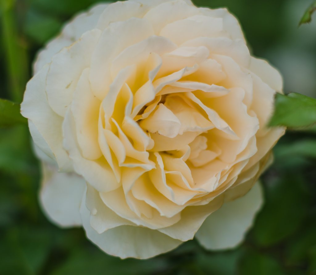 Rosa Chandos Beauty